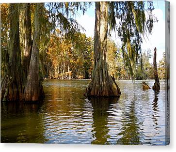 Swamp - Cypress Trees Canvas Print by Beth Vincent