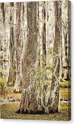 Swamp Trees Canvas Print by Denis Lemay