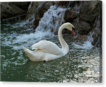 Swan A Swimming Canvas Print by Michele Myers
