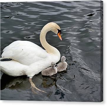 Swan And Cygnets Canvas Print by Kathy King