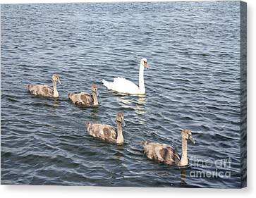 Canvas Print featuring the photograph Swan And His Ducklings by John Telfer