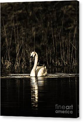Canvas Print featuring the photograph Swan B/w by Rose-Maries Pictures
