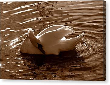 Swan By The Lake  Canvas Print