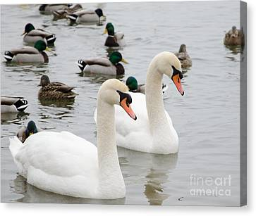 Swan Couple Canvas Print