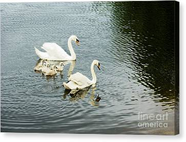 Baby Bird Canvas Print - Swan Family by Jim  Calarese
