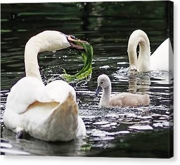 Swan Family Meal Canvas Print by Rona Black