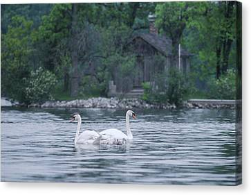 Swan Family Outing Canvas Print by Bruce Thompson