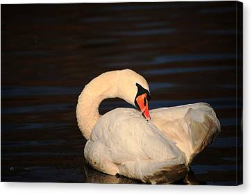 Canvas Print - Swan Grooming by Karol Livote