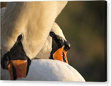 Swan Heads Canvas Print by Michael Mogensen