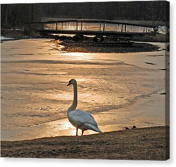 Swan In Solitude At Sunset Canvas Print