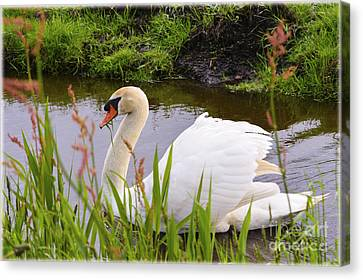 Swan In Water In Autumn Canvas Print