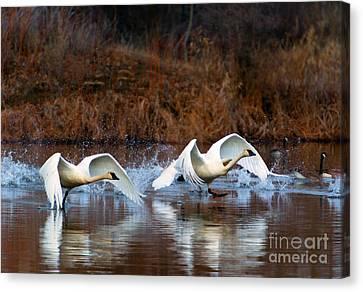 Swan Lake Canvas Print by Mike  Dawson