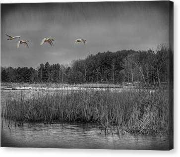 Flying Swan Canvas Print - Swan Migration by Thomas Young