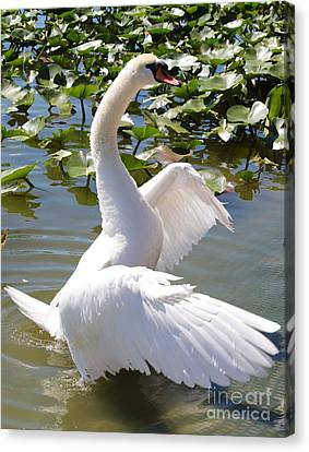 Swan Pose Canvas Print by Carol Groenen