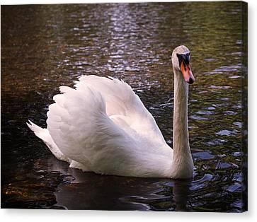 Swan Pose Canvas Print by Rona Black