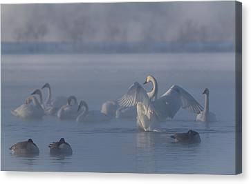 Canvas Print featuring the photograph Swan Showing Off by Patti Deters