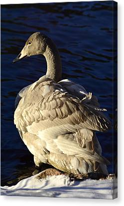 Swan Sits And Looks Out Over The Lake Canvas Print by Tommytechno Sweden