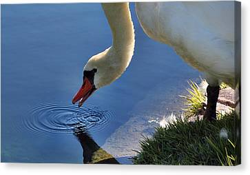Canvas Print featuring the photograph Swan Song by Cathy Donohoue