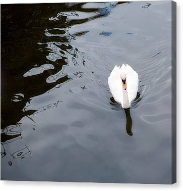Swan Song Canvas Print by Rebecca Cozart