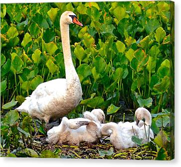 Swan Song Canvas Print by Frozen in Time Fine Art Photography