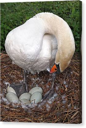 Swan Watching Over The Eggs Canvas Print by Gill Billington