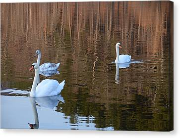 Swans 2 Canvas Print