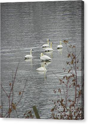 Swans A Swimming Canvas Print by KD Johnson