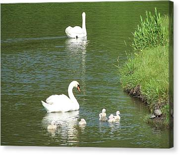 Canvas Print featuring the photograph Swans And Turtles by Teresa Schomig