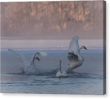 Canvas Print featuring the photograph Swans Chasing by Patti Deters