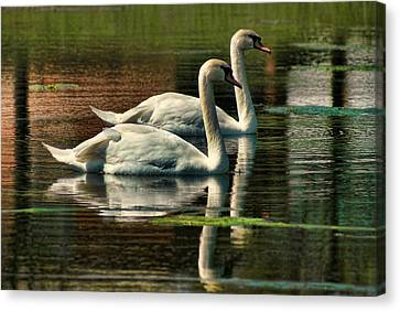 Swans Cruising Canvas Print by Rick Friedle