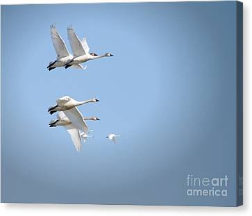 Swans In Flight Canvas Print