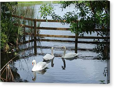 Swans In The Pond Canvas Print by Beverly Stapleton