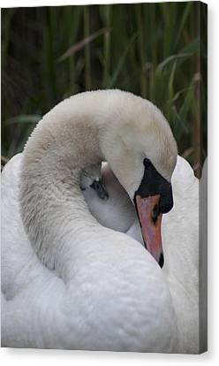 Swans Love Canvas Print by Terry Cosgrave