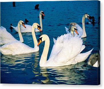 Swans Canvas Print by Matthew Bamberg