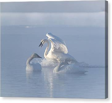 Canvas Print featuring the photograph Trumpeter Swans - Three's Company by Patti Deters