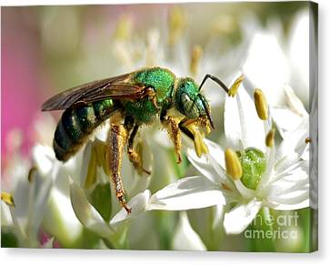 Canvas Print featuring the photograph Sweat Bee by Kathy Baccari