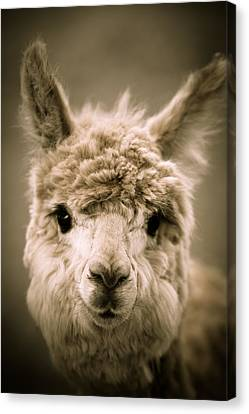 Sweet Alpaca Canvas Print by Shane Holsclaw