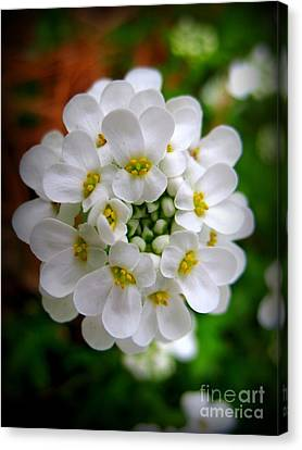 Sweet Alyssum Canvas Print by Patti Whitten