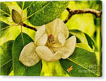 Sweet Bay Magnolia After The Rain Canvas Print by Lois Bryan