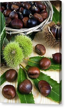 Sweet Chestnuts (castanea Sativa Canvas Print
