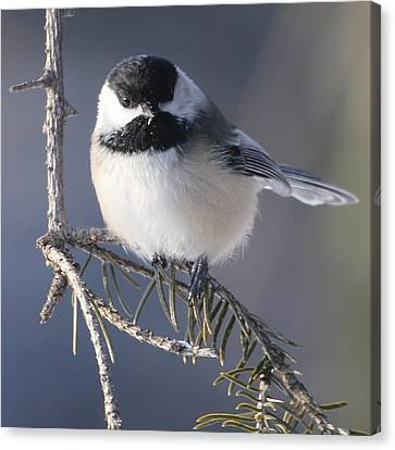 Sweet Chickadee Canvas Print by John Kunze