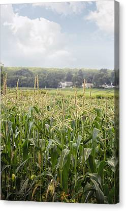 Sweet Corn Grows On A Connecticut Farm Canvas Print