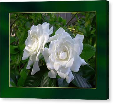 Sweet Gardenia Canvas Print by Ginny Schmidt