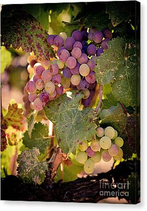 Sweet Grapes Canvas Print