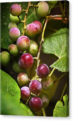Sweet Grapes Canvas Print by Christina Rollo