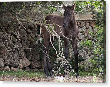 sweet heart - A tender foal wait his beloved mother  Canvas Print by Pedro Cardona