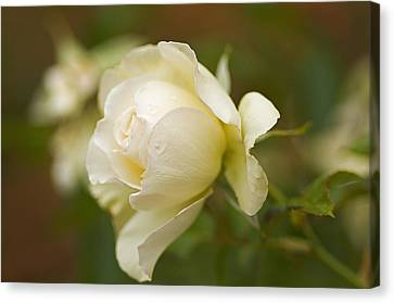 Sweet Home Rose Canvas Print by Nick  Boren