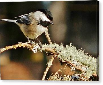Sweet Little Chickadee Canvas Print