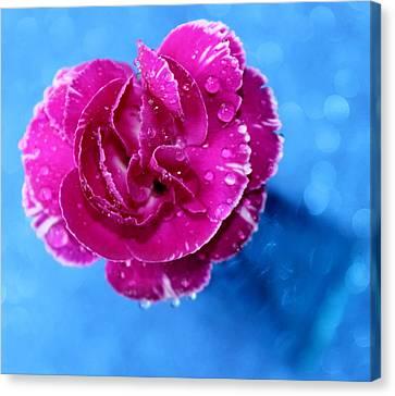 Pink Carnation Canvas Print - Sweet Love by Krissy Katsimbras