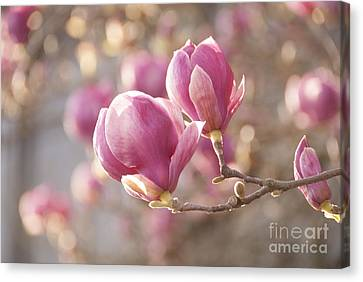 Sweet Magnolia Canvas Print by Juli Scalzi